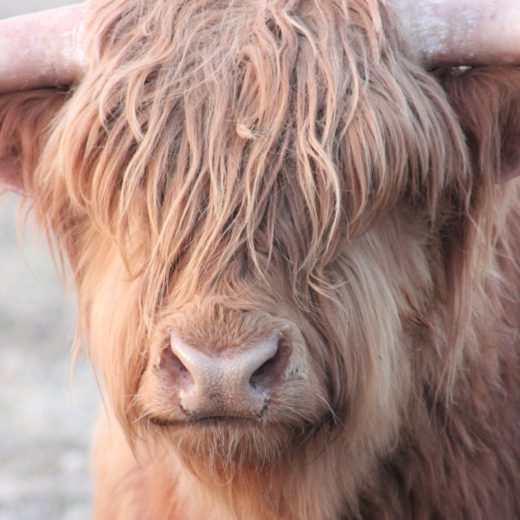 Highland Beef Cows